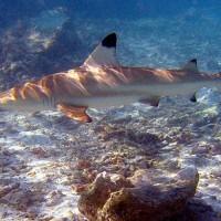 好消息!近危烏翅真鯊重遊泰國瑪雅灣