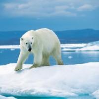 加拿大:暖化將影響北極熊與鮭魚等物種存續