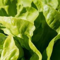 大腸桿菌疫情再擴大!美FDA呼籲勿食用來路不明的蘿蔓生菜