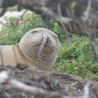 鰻魚怎麼闖進海豹鼻孔? 科學家無解