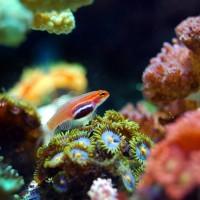 澳洲大堡礁新研究 暖化讓珊瑚變的堅韌