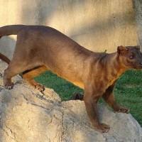 非洲罕見野生動物 科學家投入研究易危馬島長尾狸貓