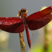 Photo of the Day: Crimson dragonfly in Taiwan