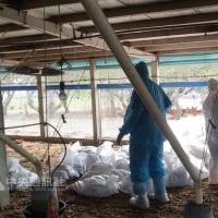 Taiwan culls nearly 7,000 chickens following bird flu case