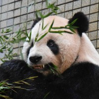 Panda receives world's first orthodontic brace in Taiwan