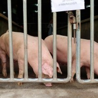 Taiwan's Yunlin County bans feeding food scraps to pigs