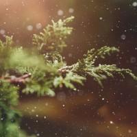 聖誕樹救地球 回收針葉具高環保、經濟價值