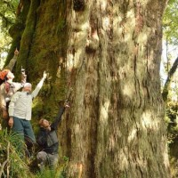 Photo of the Day: Giant Taiwan red cypress discovered in Taitung