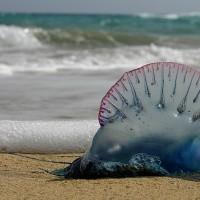 【影片】綠島北岸僧帽水母大爆發 毒性強切勿碰觸