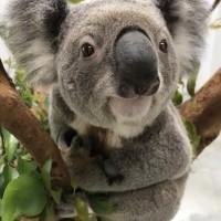 Taipei Zoo debuts newest koala