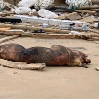 Dead hog found on beach in Taiwan's Kinmen County