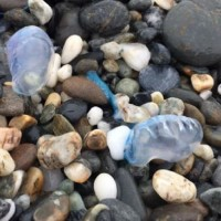 Update: Deadly Portuguese Man o' War spotted on Hualien, Taiwan beach