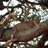 耐不住飢餓還是喪失獵捕本能?印度動物園脫逃豹自行返回籠子