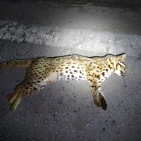 Rare leopard cat dies after being struck by car in western Taiwan
