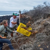 厄瓜多加拉巴哥陸鬣蜥復育 1,500隻重回200年前棲息地