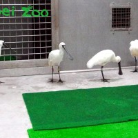 Taipei Zoo welcomes four black-faced spoonbills as new immigrants from Japan