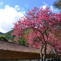 Photo of the Day: Taiwan cherry tree in bloom at Wuling Farm area