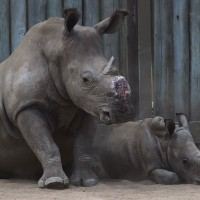 Taiwan negotiating with eSwatini to extradite Taiwanese rhino poachers