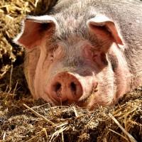 中國非洲豬瘟疫情擴大到24省 甘肅省慶城縣淪陷