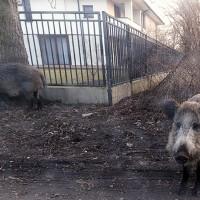 非洲豬瘟肆虐東歐 波蘭擬獵殺20萬頭野豬