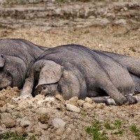非洲豬瘟擴散至蒙古 超過250頭豬隻病死