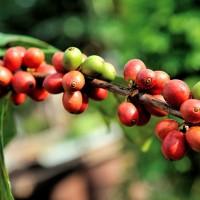 環境衝擊 六成野生咖啡豆恐面臨滅絕