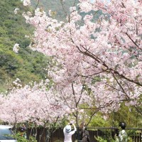 Cherry blooms on Beiheng Highway (Photo/Taoyuan Travel website)