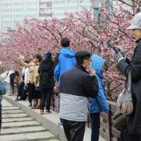 Taipei's Lohas Cherry Blossom Festival in Neihu kicks off today