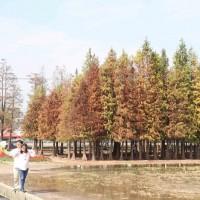 台南氣溫降催紅六甲落羽松 假日吸引眾多遊客