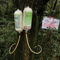 松樹吊點滴 防治松材線蟲