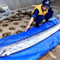 Oarfish appearances stir fears of earthquake, tsunami in Japan