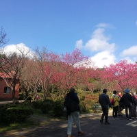 Watching cherry blossoms on Taipei's Yangmingshan is a trip worth taking during LNY