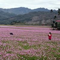 Garden cosmos flowers blooming in southeastern Taiwan