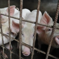 Japan struggles to contain spread of swine fever