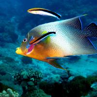 日本學者驚人發現:這種小魚竟然也會照鏡子!