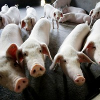 Swine fever hits China's Guangxi, Vietnam