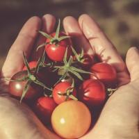 充滿越式風情的番茄園 嘉義新住民經營具巧思