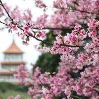 櫻花盛開的天元宮,隨處拍攝皆為一幅美景。(圖/景觀處)