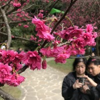 陽明山花季粉紅浪潮 一同上山「牽手觀櫻」