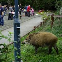 非洲豬瘟威脅不減 美加墨合力築北美防疫網