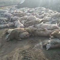 Chinese farmer accuses authorities of African swine fever cover-up