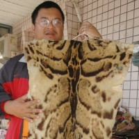 Taiwanese scholars reluctant to declare Formosan clouded leopard extinct