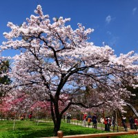 Traffic control measures announced ahead of flower season on SW Taiwan's Alishan