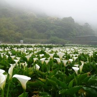 Calla lilies on Taipei's Yangmingshan bloom in time for 228 holiday