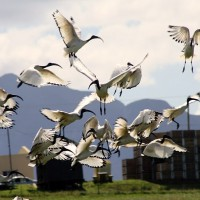 Taiwan considers culling African sacred ibis