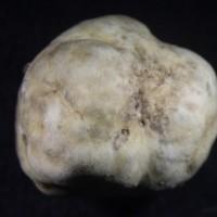 台灣發現世界新種原生白松露 最快10年後人工生產