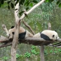 高雄觀光局長潘恆旭證實中國將贈貓熊 北市動物園「祝福」