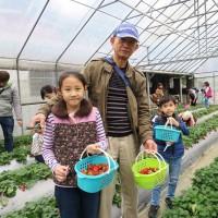 It is peak strawberry season in Taipei's Neihu