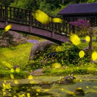 A time of magic light in the air – firefly season in Taiwan's Chiayi