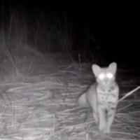 石虎現蹤卓蘭生態公園  探頭探腦自動相機全都錄